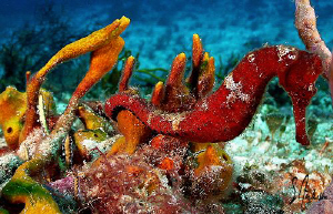 This image of a Orange Seahorse was taken during a dive o... by Steven Anderson