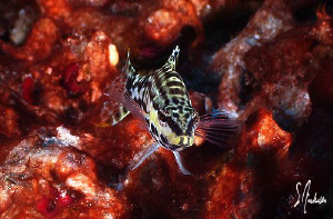 This image of a Harlequin Bass was taken while diving at ... by Steven Anderson