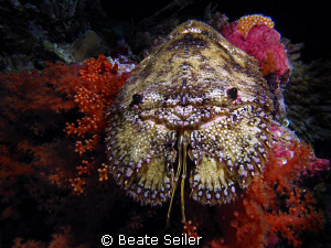 Slipper lobster taken on a night dive at Wakatobi , with ... by Beate Seiler