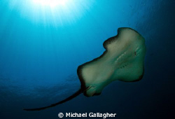 Bull ray at Julian Rocks, Byron Bay, NSW, Australia by Michael Gallagher