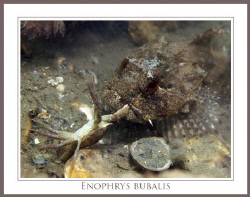 These Enophrys bubalis just catches these small crab. Sec... by John De Jong