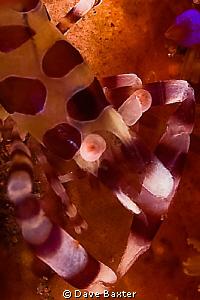 coleman shrimp on host urchin by Dave Baxter