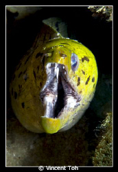 Moray Eel.... by Vincent Toh