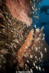 Seafan and glassfish taken in Ras Ghozlani. by Stephan Kerkhofs