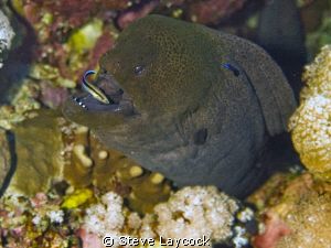 Moray eel with cleaner wrasse by Steve Laycock