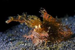 Ambon Scorpionfish playing hide n seek on Hairball 2, Lem... by Soren Egeberg
