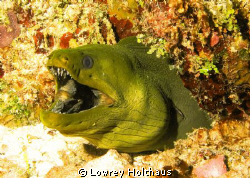 Green Moray Eel by Lowrey Holthaus
