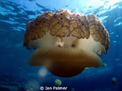 Fried Egg Jellyfish. Taken with an Olympus mju700 by Ian Palmer