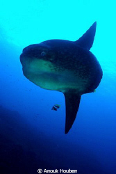 My first mola mola encounter.