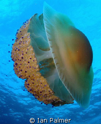 Fried Egg Jellyfish - Details as previous photo by Ian Palmer