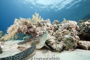 Juvenile green turtle taken at Yolanda Reef. by Stephan Kerkhofs