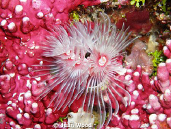Pink on Pink. lovely tube worms, we've always called the... by Jean Wood