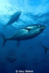 Blue Fin Tuna by Gary Stokes