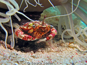 Porcelan crab , taken at wakatobi with Canon S70 and UCL165 by Beate Seiler