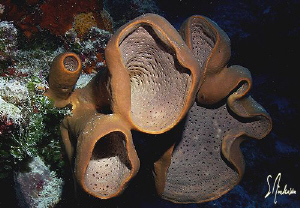 Sponges of every kind and shape can be found when diving ... by Steven Anderson