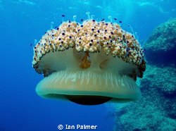 Fried Egg Jellyfish - Details as previous entry by Ian Palmer