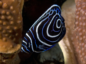 Juvenile Emperor Angelfish. East of Dili, East Timor by Doug Anderson
