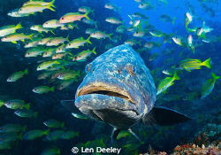 Potato Grouper accompanying a shoal of snappers and goatf... by Len Deeley