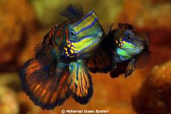 Mating time - Mandarin Fish by Mohamad Izwas Ibrahim