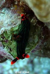 Nembrotha kubaryana Hoga Island Wakatobi by Ed Wood