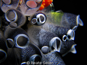 Sea squirt , taken at Wakatobi with Canon S70 an UCL165 by Beate Seiler
