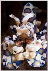 Harlequin shrimp by Erika Antoniazzo