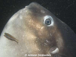 Ocean sunfish at cleaning station by Antoine Desbordes