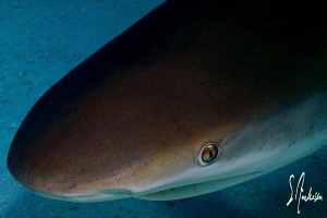 This Caribbean Reef shark wanted a little closer look. Th... by Steven Anderson