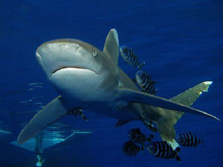 Oceanic Whitetip shark taken at Elphinstone this week. Ca... by James Dawson