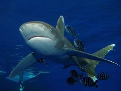 Oceanic Whitetip shark taken at Elphinstone this week. Ca... by James Dawson