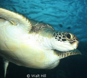 Turtle by Walt Hill