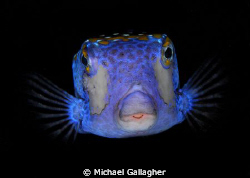 Boxfish portrait on a night dive at Cocos Island, Costa Rica by Michael Gallagher
