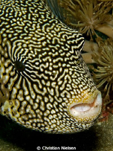 I like the fantastic pattern  on the Puffer Fish. Art in ... by Christian Nielsen
