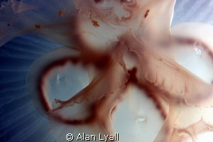 Moon jelly central portion detail - full frame by Alan Lyall