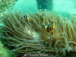 A playful school of clown fish in Phi Ley. A lot of fun! by Charlie Morin