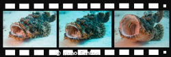 My Scorpion Fish life makes a movie... by Nuno Santos