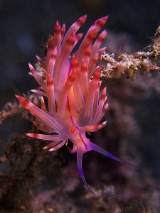 Flabellina sp. East of Dili, East Timor. by Doug Anderson