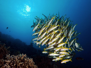 """""""School of Yellowfin Goatfish""""   After a too long break... by Henry Jager"""