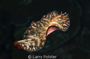 Unidentified flat worm swimming. D300-60mm by Larry Polster