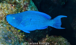 Bumphead Parrotfish (Bolbometopon muricatum)?? I think? by Larissa Roorda