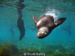 Diving with California Sea Lions on a shore dive.  Isla G... by Scott Rettig
