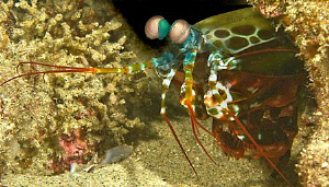 Mantis shrimp in Sodwana, South Africa by Charles Wright