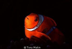 Spinecheek anemonefish by Tony Makin