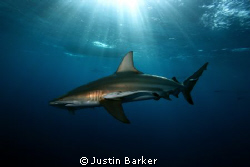 This black tip was taken at Umkomass (Aliwal Shoal)