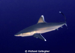 Silvertip at Cocos Island by Michael Gallagher