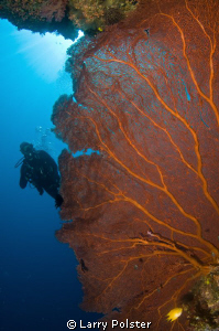 Large fans on many of the Solomon Sea dive sites. a wide ... by Larry Polster