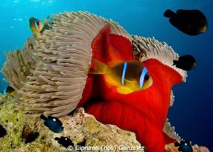 anemone fish drifting :) by Cipriano (ripli) Gonzalez