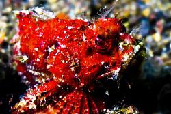 Red little somthing scorpionfish.........? Still hitting ... by Soren Egeberg