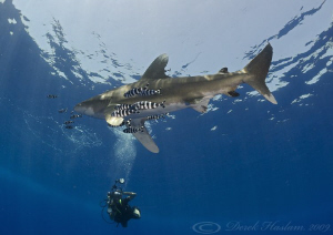 Oceanic whitetip shark. D3, 16mm. by Derek Haslam