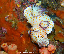 Chromodoris annulata by Jean Wood